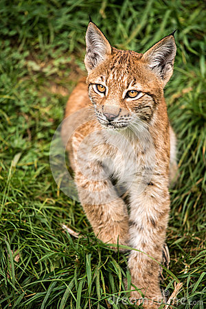 Котенок Lynx