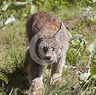 Канадский Lynx