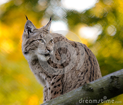 Lynx Photo stock - Image: 27287590