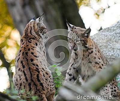 Молодой Lynx