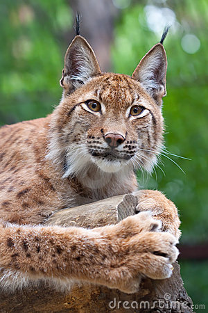 Lynx  against wildness area