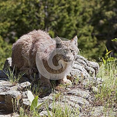 Lynx américain