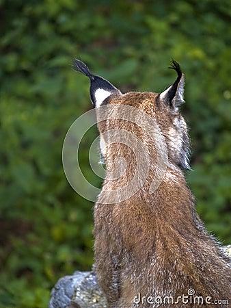 Lynx Back