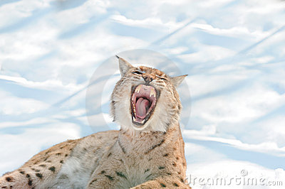 Lynx with bared fangs