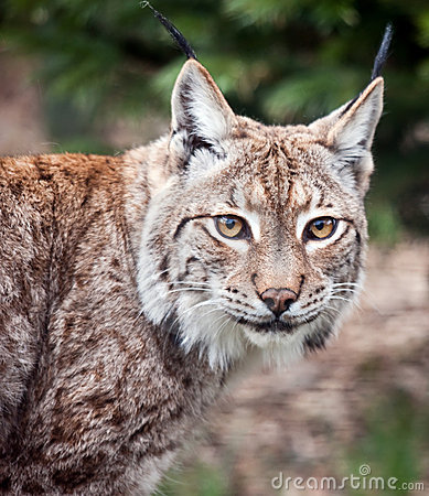 Lynx bobcat close up