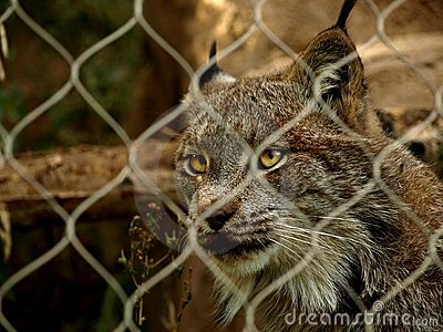 Lynx captif