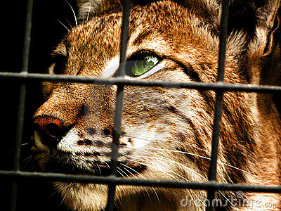 Lynx in captivity