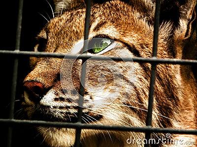 Lynx in captivity