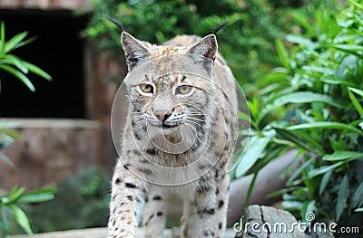 Lynx caucasien