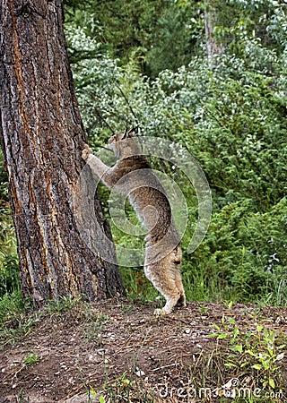 Lynx Climbing Tree