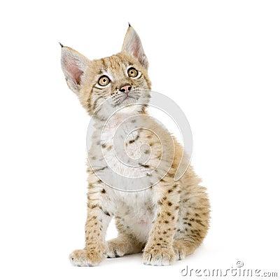 Free Lynx Cub (2 Mounths) Royalty Free Stock Image - 2811006