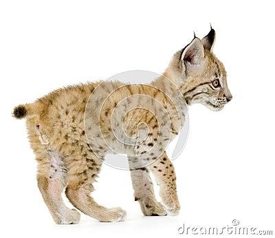 Lynx cub (2 mounths)