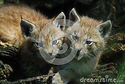 Lynx cups