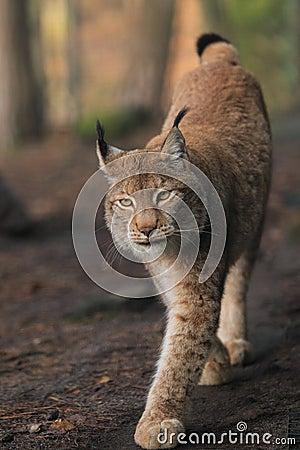 Lynx d Approching