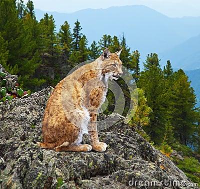 Lynx dans la zone de wildness