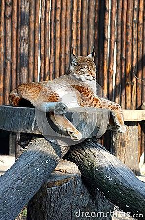 Lynx dans le zoo