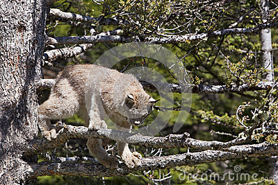 Lynx de Canada