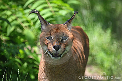 Lynx de Caracal