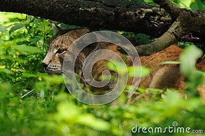 Lynx de sommeil