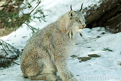 Lynx In De Winter Royalty-vrije Stock Fotografie - Beeld: 19007427