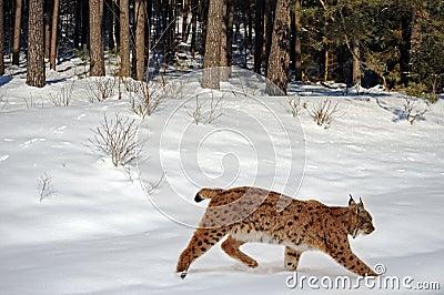 Lynx in de winter
