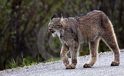 Lynx in Denali National Park