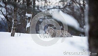 Lynx die in de sneeuw leggen