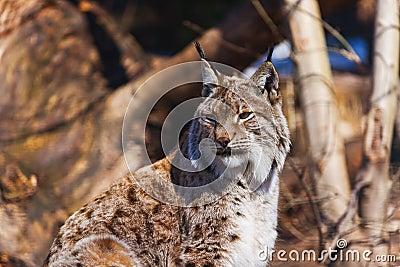 Lynx en stationnement