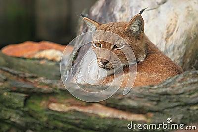 Lynx eurasien