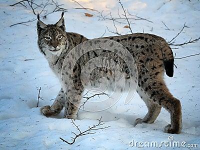 Lynx eurasien en hiver