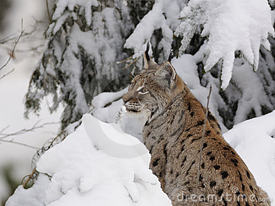 Lynx eurasien (lynx de lynx)