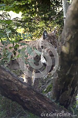 Lynx eurasien (lynx de lynx) avec une proie.