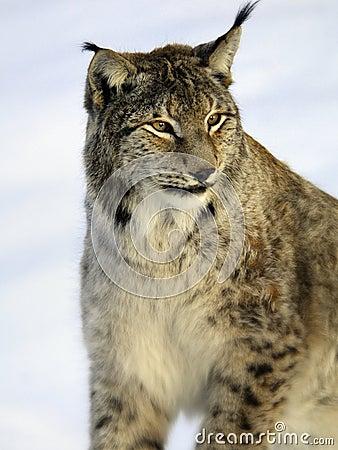 Lynx, European