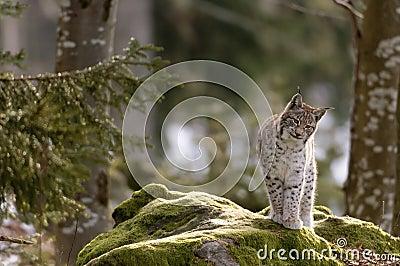 Lynx européen