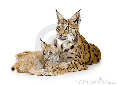 Lynx and her cub