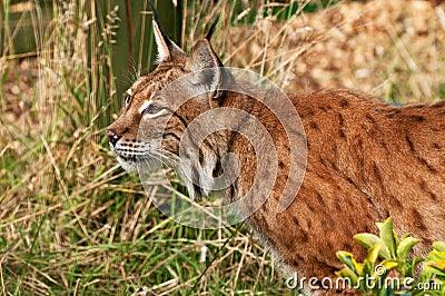 Lynx hunting in long grass