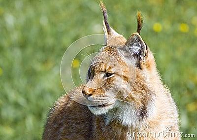 Lynx ibérien