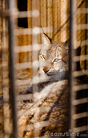 Lynx imprisonment in a cage