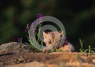 Lynx Kitten in Purple Wildflowers