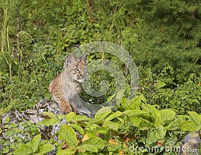 Lynx Kitten on a Rock