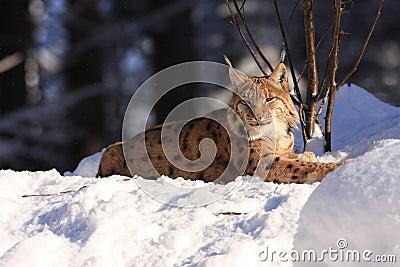 Lynx (Lynx lynx)