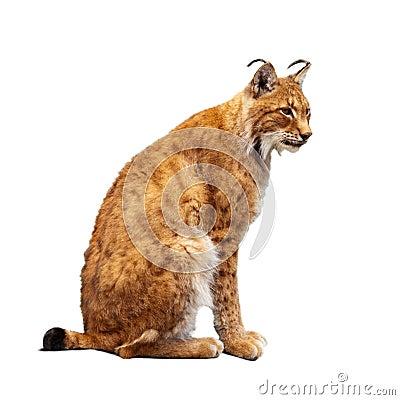 Lynx over white