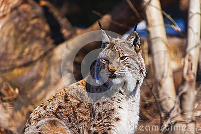 Lynx in park