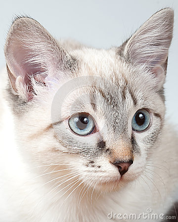 Lynx Point Siamese Kitten