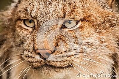 Lynx portrait