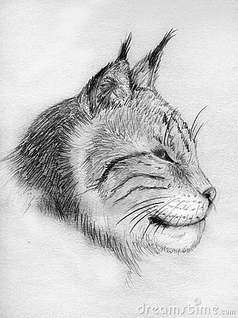 Lynx portrait - sketch