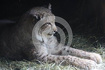 Lynx in Repose