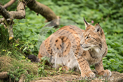 Lynx on Rock