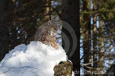 Lynx on rock II