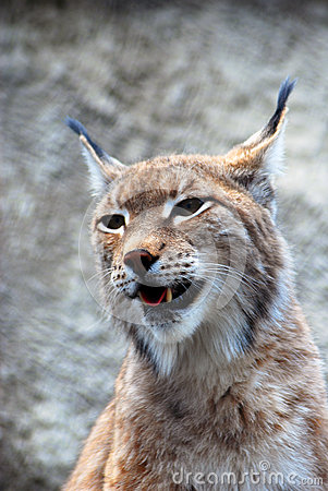 Lynx rufus at grey backgroung